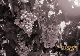New Zealand's Sauvignon Blanc